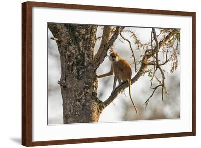 Uganda, Kidepo. a Patas Monkey in the Kidepo Valley National Park-Nigel Pavitt-Framed Photographic Print