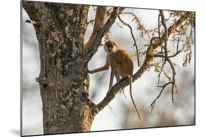 Uganda, Kidepo. a Patas Monkey in the Kidepo Valley National Park-Nigel Pavitt-Mounted Photographic Print