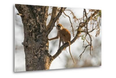 Uganda, Kidepo. a Patas Monkey in the Kidepo Valley National Park-Nigel Pavitt-Metal Print