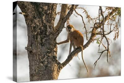 Uganda, Kidepo. a Patas Monkey in the Kidepo Valley National Park-Nigel Pavitt-Stretched Canvas Print