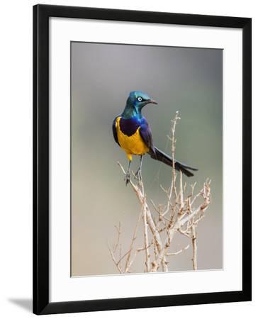 Kenya, Taita-Taveta County, Tsavo East National Park. a Golden-Breasted Starling-Nigel Pavitt-Framed Photographic Print