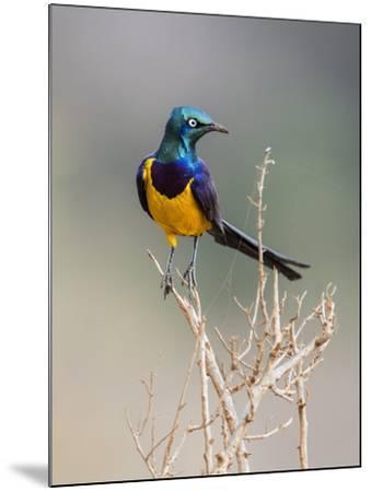 Kenya, Taita-Taveta County, Tsavo East National Park. a Golden-Breasted Starling-Nigel Pavitt-Mounted Photographic Print
