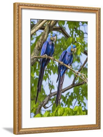 Brazil, Pantanal, Mato Grosso Do Sul. a Pair of Hyacinth Macaws.-Nigel Pavitt-Framed Photographic Print