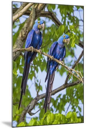 Brazil, Pantanal, Mato Grosso Do Sul. a Pair of Hyacinth Macaws.-Nigel Pavitt-Mounted Photographic Print