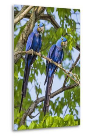 Brazil, Pantanal, Mato Grosso Do Sul. a Pair of Hyacinth Macaws.-Nigel Pavitt-Metal Print