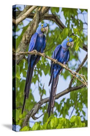 Brazil, Pantanal, Mato Grosso Do Sul. a Pair of Hyacinth Macaws.-Nigel Pavitt-Stretched Canvas Print