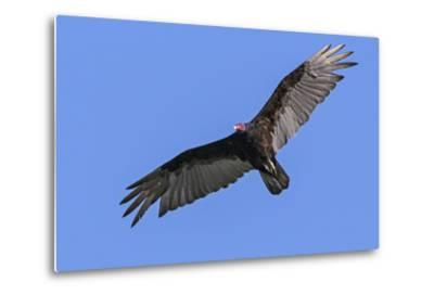 Brazil, Pantanal, Mato Grosso Do Sul. a Turkey Vulture in Flight.-Nigel Pavitt-Metal Print