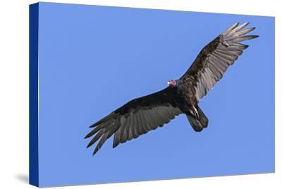Brazil, Pantanal, Mato Grosso Do Sul. a Turkey Vulture in Flight.-Nigel Pavitt-Stretched Canvas Print