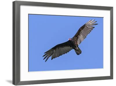 Brazil, Pantanal, Mato Grosso Do Sul. a Turkey Vulture in Flight.-Nigel Pavitt-Framed Photographic Print