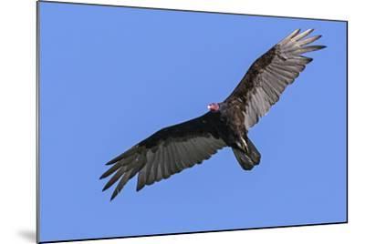 Brazil, Pantanal, Mato Grosso Do Sul. a Turkey Vulture in Flight.-Nigel Pavitt-Mounted Photographic Print