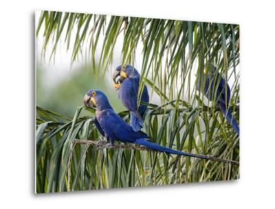 Brazil, Pantanal, Mato Grosso Do Sul. Hyacinth Macaws Roosting in a Palm.-Nigel Pavitt-Metal Print