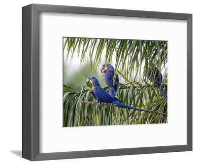 Brazil, Pantanal, Mato Grosso Do Sul. Hyacinth Macaws Roosting in a Palm.-Nigel Pavitt-Framed Photographic Print