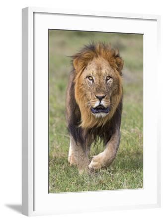 Kenya, Laikipia County, Laikipia. a Black-Maned Lion.-Nigel Pavitt-Framed Photographic Print