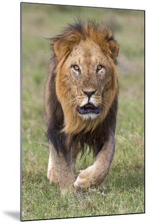 Kenya, Laikipia County, Laikipia. a Black-Maned Lion.-Nigel Pavitt-Mounted Photographic Print