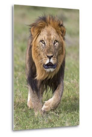 Kenya, Laikipia County, Laikipia. a Black-Maned Lion.-Nigel Pavitt-Metal Print