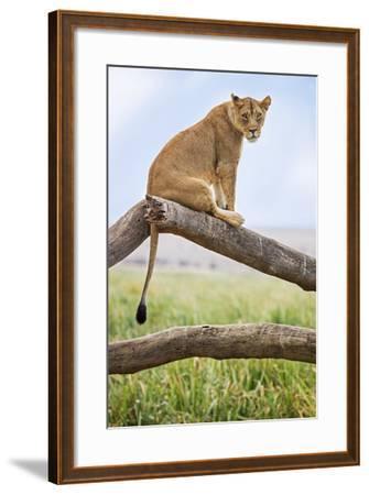 Kenya, Meru County, Lewa Wildlife Conservancy. a Lioness Sitting on the Branch of a Dead Tree.-Nigel Pavitt-Framed Photographic Print