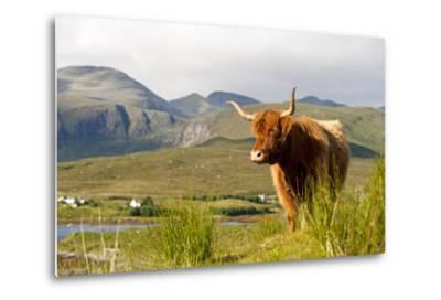 Uk, Scotland, Outer Hebrides, Harris. Highland Cow in the Wild, Aline Estate.-John Warburton-lee-Metal Print