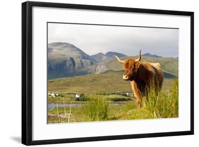 Uk, Scotland, Outer Hebrides, Harris. Highland Cow in the Wild, Aline Estate.-John Warburton-lee-Framed Photographic Print