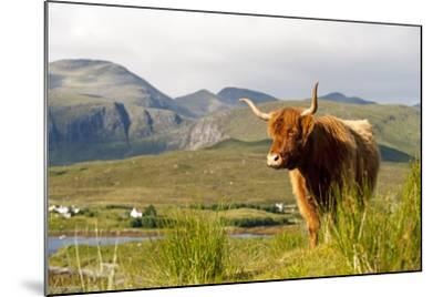 Uk, Scotland, Outer Hebrides, Harris. Highland Cow in the Wild, Aline Estate.-John Warburton-lee-Mounted Photographic Print
