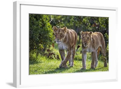 Kenya, Narok County-Nigel Pavitt-Framed Photographic Print