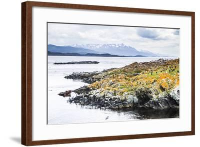 Cormorant Colony on an Island at Ushuaia in the Beagle Channel (Beagle Strait), Argentina-Matthew Williams-Ellis-Framed Photographic Print