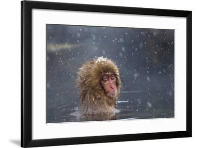 Japanese Macaque (Snow Monkey) (Macata Fuscata), Japan-Andrew Sproule-Framed Photographic Print