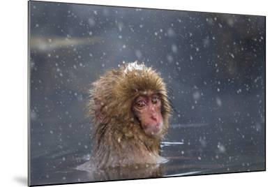 Japanese Macaque (Snow Monkey) (Macata Fuscata), Japan-Andrew Sproule-Mounted Photographic Print