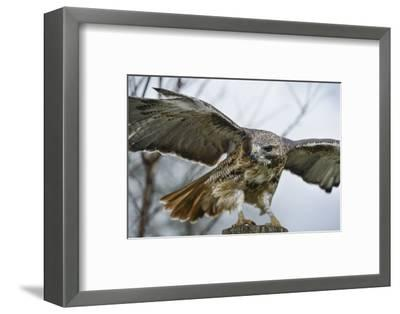 Red Tailed Hawk, an American Raptor, Bird of Prey, United Kingdom, Europe-Janette Hill-Framed Photographic Print