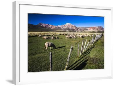 Sheep on the Farm at Estancia La Oriental, Argentina-Matthew Williams-Ellis-Framed Photographic Print