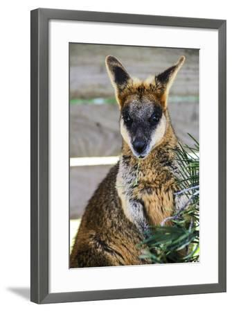 Kangaroo Eating and Looking at the Camera, Queensland, Australia Pacific-Noelia Ramon-Framed Photographic Print