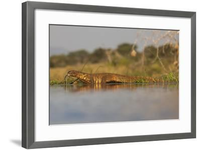 Water Monitor (Leguaan) (Varanus Niloticus), Zimanga Private Game Reserve, Kwazulu-Natal, Africa-Ann & Steve Toon-Framed Photographic Print