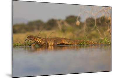 Water Monitor (Leguaan) (Varanus Niloticus), Zimanga Private Game Reserve, Kwazulu-Natal, Africa-Ann & Steve Toon-Mounted Photographic Print