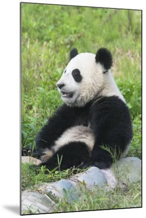 Two Year Old Young Giant Panda (Ailuropoda Melanoleuca), Chengdu, Sichuan, China, Asia-G&M Therin-Weise-Mounted Photographic Print