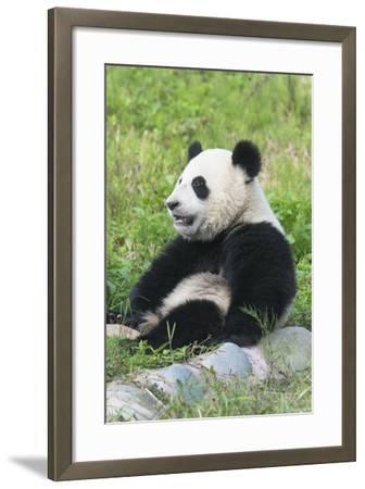 Two Year Old Young Giant Panda (Ailuropoda Melanoleuca), Chengdu, Sichuan, China, Asia-G&M Therin-Weise-Framed Photographic Print