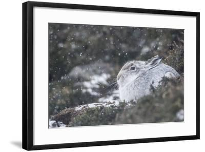 Mountain Hare (Lepus Timidus), Scottish Highlands, Scotland, United Kingdom, Europe-David and Louis Gibbon-Framed Photographic Print