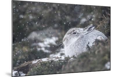 Mountain Hare (Lepus Timidus), Scottish Highlands, Scotland, United Kingdom, Europe-David and Louis Gibbon-Mounted Photographic Print