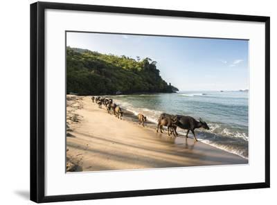 Water Buffalo on the Beach at Sungai Pinang, Near Padang in West Sumatra, Indonesia, Southeast Asia-Matthew Williams-Ellis-Framed Photographic Print