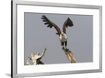 African Fish Eagle (Haliaeetus Vocifer), Chobe National Park, Botswana, Africa-Ann & Steve Toon-Framed Photographic Print