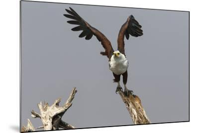 African Fish Eagle (Haliaeetus Vocifer), Chobe National Park, Botswana, Africa-Ann & Steve Toon-Mounted Photographic Print