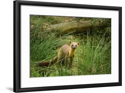 Pine Marten (Martes Martes), Devon, England, United Kingdom, Europe-Janette Hill-Framed Photographic Print