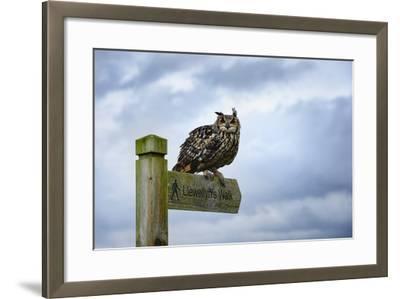 Eagle Owl, Raptor, Bird of Prey on Sign Post for Llewellyn'Swalk, Rhayader, Mid Wales, U.K.-Janette Hill-Framed Photographic Print