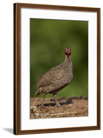Swainson's Francolin (Swainson's Spurfowl) (Pternistes Swainsonii), Kruger National Park, Africa-James Hager-Framed Photographic Print
