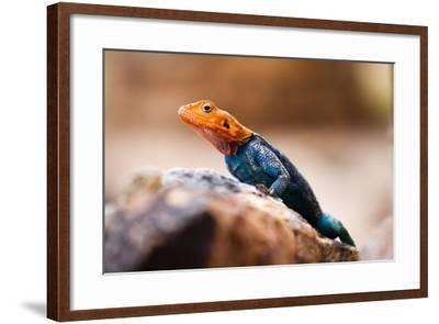 Kenyan Rock Agama Lizard (Agama Lionotus), Kenya, East Africa, Africa-John Alexander-Framed Photographic Print