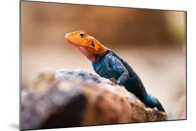 Kenyan Rock Agama Lizard (Agama Lionotus), Kenya, East Africa, Africa-John Alexander-Mounted Photographic Print
