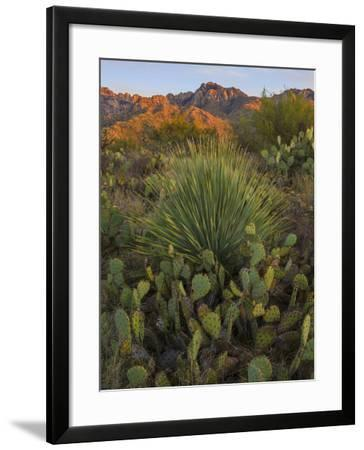 Prickly Pear Cactus and Sotol at Sunset, Sonoran Desert, Arizona, Usa--Framed Photographic Print