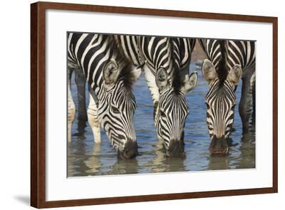 Burchell's Zebra (Plains Zebra) (Equus Burchelli) Drinking, Kwazulu-Natal, Africa-Ann & Steve Toon-Framed Photographic Print