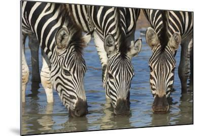 Burchell's Zebra (Plains Zebra) (Equus Burchelli) Drinking, Kwazulu-Natal, Africa-Ann & Steve Toon-Mounted Photographic Print
