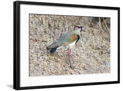 Southern Lapwing (Vanellus Chilensis), Pantanal, Mato Grosso, Brazil, South America-G&M Therin-Weise-Framed Photographic Print