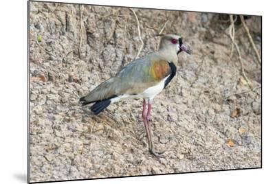 Southern Lapwing (Vanellus Chilensis), Pantanal, Mato Grosso, Brazil, South America-G&M Therin-Weise-Mounted Photographic Print