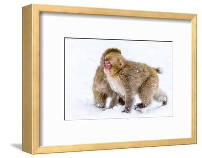 Japanese Macaques (Snow Monkeys) (Macata Fuscata), Japan-Andrew Sproule-Framed Photographic Print